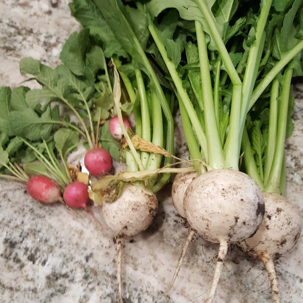 Radish and Turnip